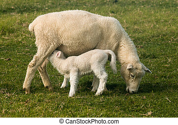 ewe with suckling lamb