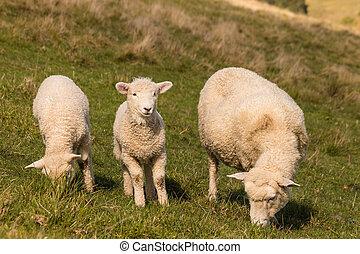 ewe with two lambs grazing
