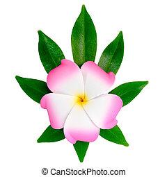 closeup of exotic pink frangipani (plumeria), flower on the shef