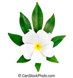 closeup of exotic white frangipani (plumeria), flower on the she
