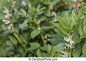 closeup of faba bean flowers and leaves