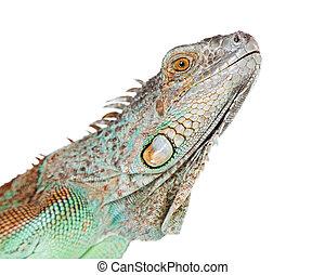 Closeup of Face of Iguana