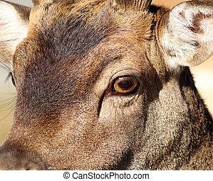 closeup of fallow deer face