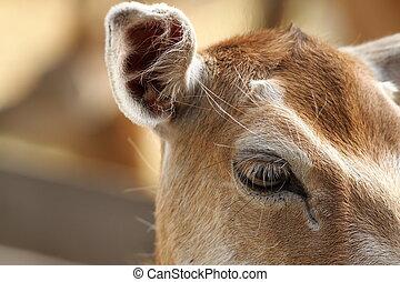 closeup of fallow deer hind, eye detail