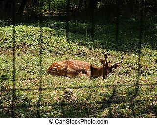 closeup of fallow deer lying on the ground facing the camera.