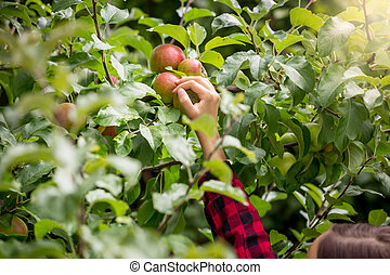 Closeup of female hand picking ripe red apples