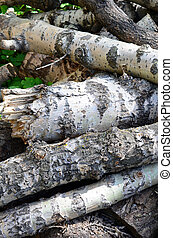 Closeup of firewood from old poplar with rough white bark. ...