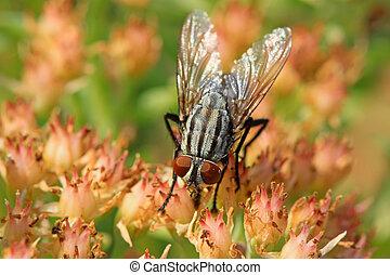 closeup of flies - closeup of diptera insects - flies