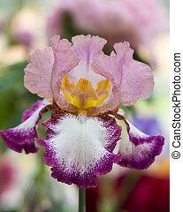 Closeup of flower bearded dainty purple white yellow iris. Macro photo.