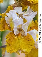 Closeup of flower bearded dainty yellow white iris. Macro photo.