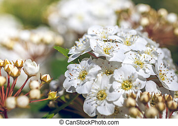 Closeup of flowering shrub bridal wreath spirea, floral background