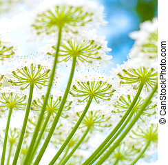 giant hogweed - closeup of flowers of a giant hogweed plant