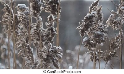 Closeup of forest spikelet covered with snow. The wind rustles the grass, cold