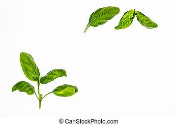 fresh basil leaves on white background