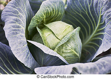 closeup of fresh cabbage in the vegetable garden