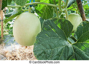 Closeup of fresh Cantaloupe not fully grown still on the plants