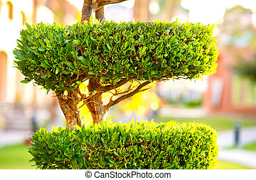 Closeup of fresh green evergreen bush with wooden trunk and vibrant green leaves growing in summer garden.