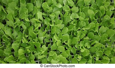 Closeup of fresh young green lettuce seedlings in cassette tray. Natural background