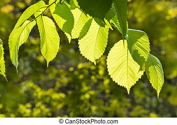 fresh hazel tree leaves in garden