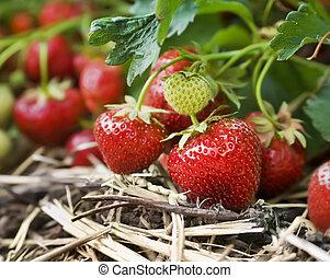 Closeup of fresh organic strawberries