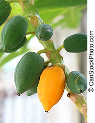 Closeup of Fresh papaya with yellow ripe papaya fruit on tree