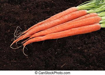 Fresh picked carrots - closeup of Fresh picked carrots