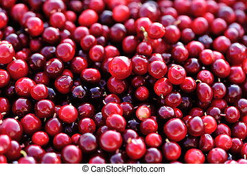 closeup of fresh picked ripe red cranberries