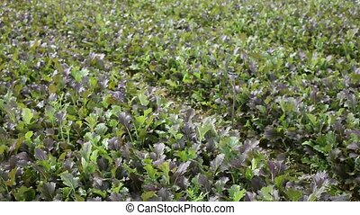 View of field planted with ripening red mustard. Growing of industrial leaf vegetable cultivars