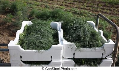 Closeup of crop of organic green dill in boxes on plantation of vegetable farm. Harvest time