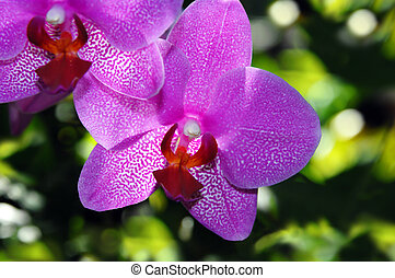 Closeup of Fushia Orchid