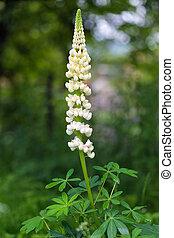 Garden Lupin flower
