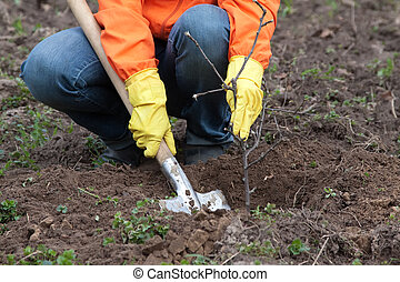 gardener planting the tree in spring - Closeup of gardener ...