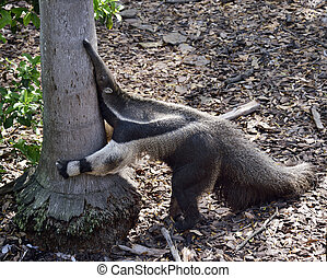 Closeup of Giant Anteater Hugging A Tree