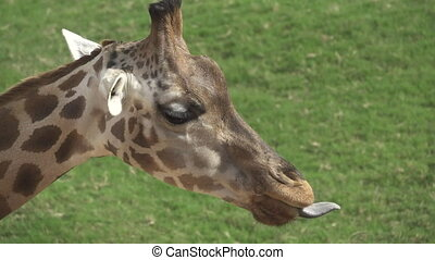 Closeup of Giraffe with tongue out, slow motion - Super slow...