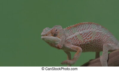 Closeup of gorgeous orange reptile chameleon sitting on...