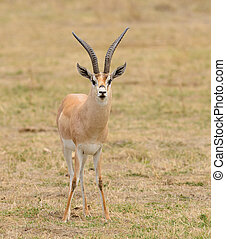 Grant's Gazelle - Closeup of Grant's Gazelle (scientific...