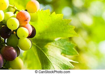 closeup of grapes in a vineyard