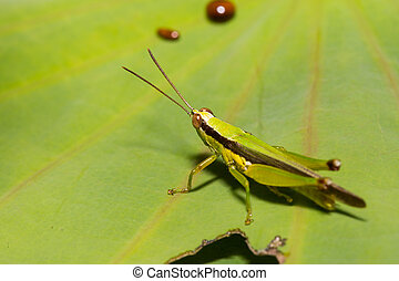 Closeup of Grasshopper on green leaf background
