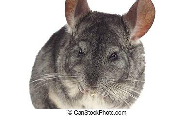 Closeup of gray chinchilla eat tasty pet food. White background
