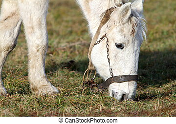 closeup of grazing horse