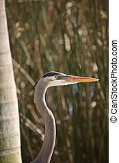 Closeup of Great Blue Heron