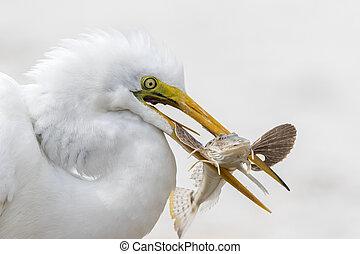 Closeup of Great Egret Catching a Fish - Florida