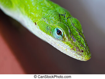 Closeup of Green Anole lizard