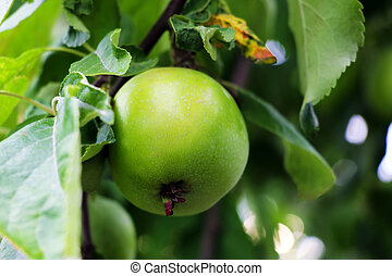 Closeup of green apples on a branch in an orchard.