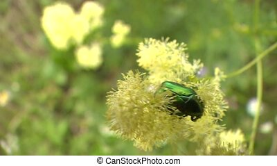 Closeup of green beetle on flower bloom - Closeup of green ...