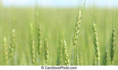 Closeup of green field wheat ears on wind - Shallow focus depth