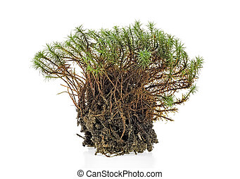 Closeup of green forest moss isolated on a white background