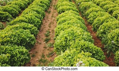 Closeup of green frisee (curly endive) on large farm plantation on sunny day. High quality FullHD footage
