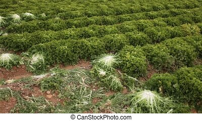 Closeup of green frisee on large farm plantation on sunny day. High quality FullHD footage
