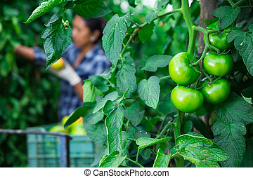 Closeup of green large tomatoes on branch in garden - ...